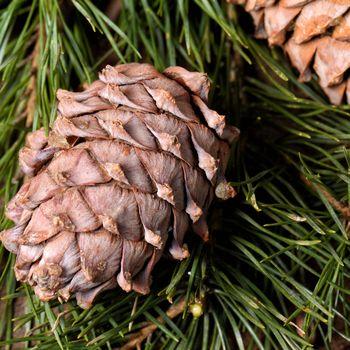 Cedar branch with cones close up