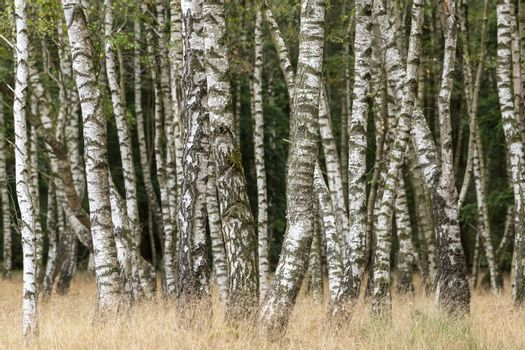 Vertical birch trunks in a birch forest with grass in the foreground
