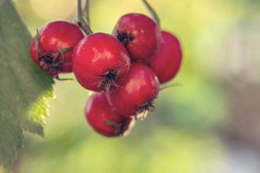 Several ripe hawthorn berries on a bush close-up
