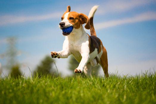 Beagle dog fun on green grass outdoors run and jump with ball towards camera. Dog background.
