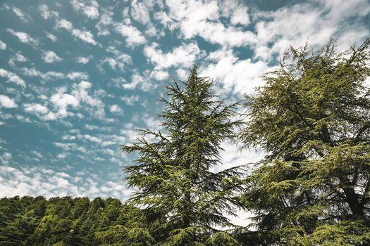 Amazing big cedars trees
