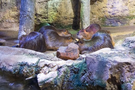 Group of beavers lie on the stones at the zoo