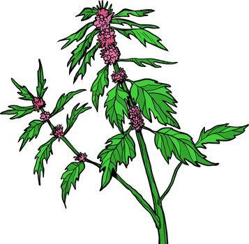 motherwort medicinal plant