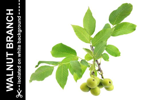 Walnut branch isolated on white background with clipping path