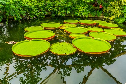 Queen victoria water lily, tropical aquatic flowering plant with large leaves, beautiful water plant, exotic specie from the amazon basin of america