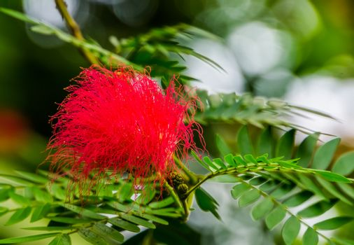 Metrosideros specie, beautiful red colored flower with tentacles in closeup, ornamental and tropical flowering tree from Australia