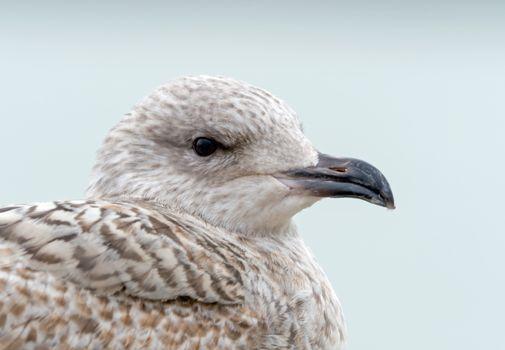 Herring Gull Juvenile Head Shot