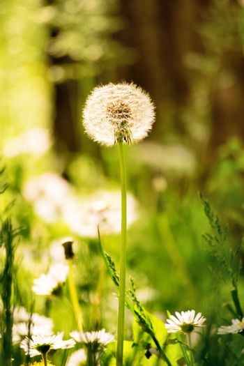 A close up shot of a dandelion fluff among green grass and other flowers in a meadow.