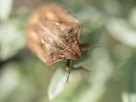 Tortoise Shield Bug