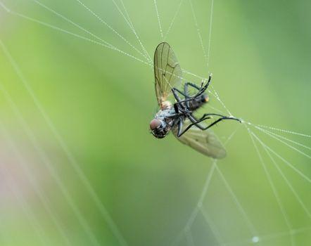 Fly in Web