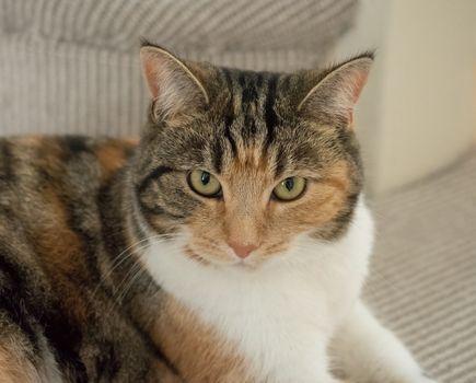 Tortoiseshell Cat Head Shot