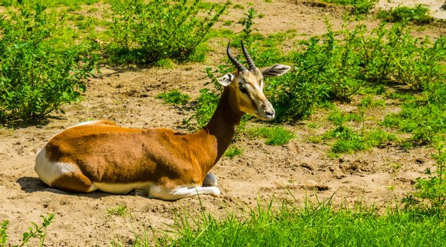closeup of a mhorr gazelle sitting on the ground, critically endangered antelope specie from the desert of africa