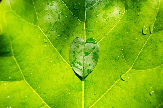 Heart leaf shape on green leaf background, Close up
