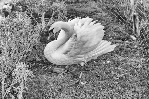 Beautiful white feathered swan in natural environment