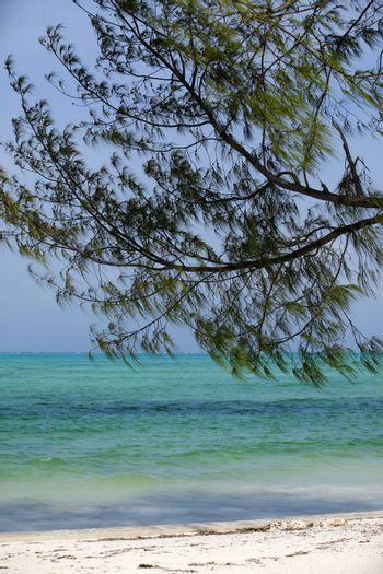 Vertical image of the ocean with pine branches in the foreground. Tanzania