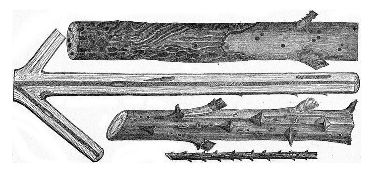 Magdalis violacea, on Spruce, vintage engraved illustration.
