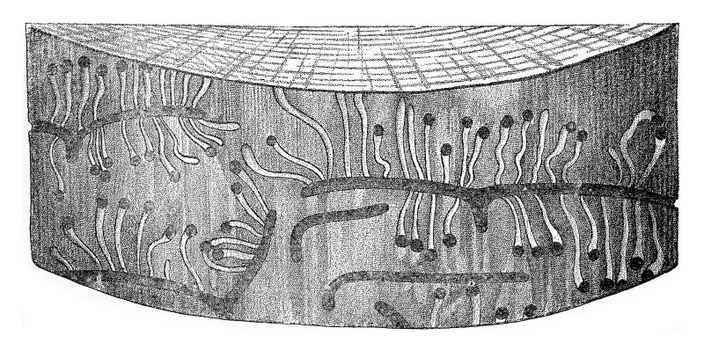 Hylesinus minor egg galleries and larval galleries, vintage engraved illustration.