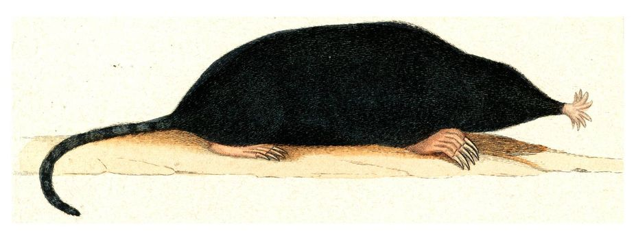 The Mole of Canada, vintage engraved illustration. From Buffon Complete Work.