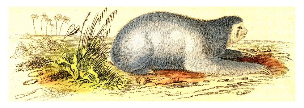 Maned sloth, vintage engraved illustration. From Buffon Complete Work.