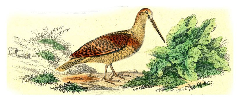 Woodcock, vintage engraved illustration. From Buffon Complete Work.