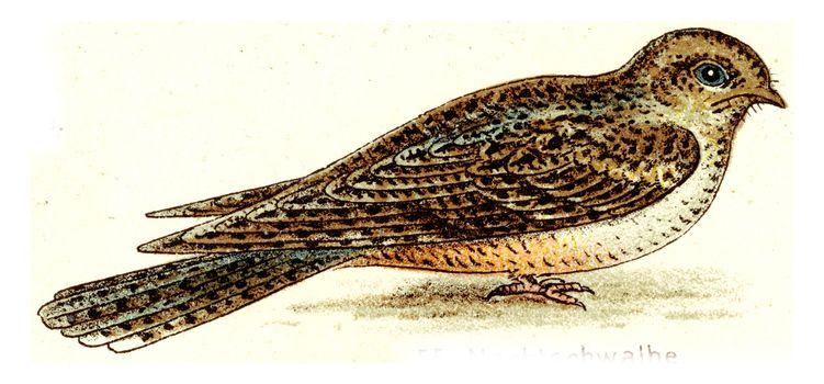 Nighthawk, vintage engraved illustration. From Deutch Birds of Europe Atlas.