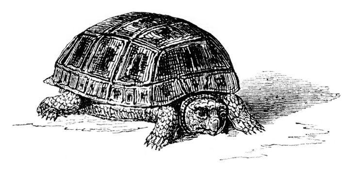 Moorish tortoise eclose by artificial incubation, natural size, vintage engraved illustration. Magasin Pittoresque 1852.