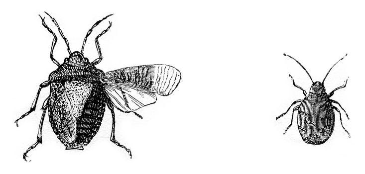 Fig 7. Bug wood (gray stink), Fig 8. larva bug woods, vintage engraved illustration. Magasin Pittoresque 1870.