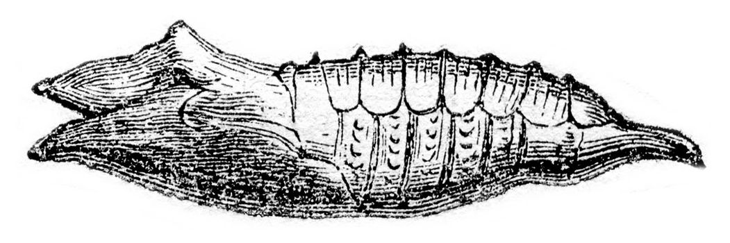 Chrysalis of Vanesse lo, vintage engraved illustration. Magasin Pittoresque 1870.