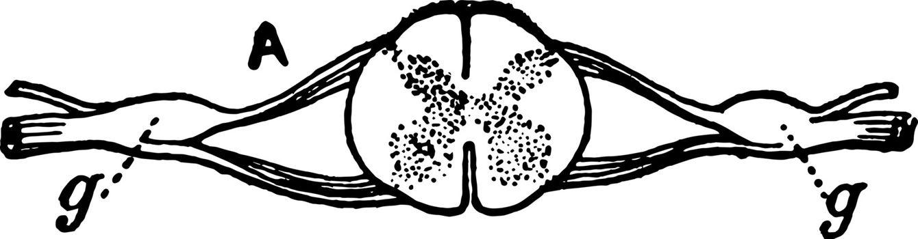 Nerve Ganglia (Spinal), vintage illustration