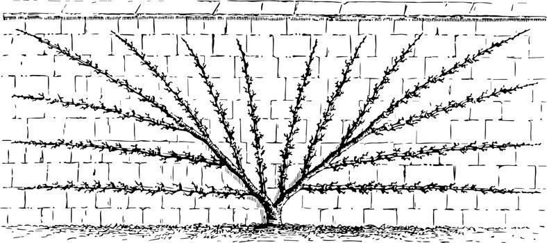 Fan Training of Pear Trees vintage illustration.