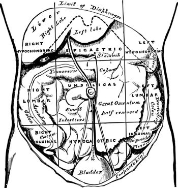Regions of the Abdomen and their Contents vintage illustration.