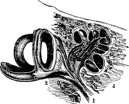 Auditory Nerve vintage illustration.