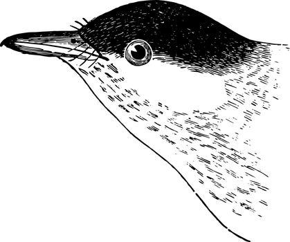 Black poll Warbler vintage illustration.
