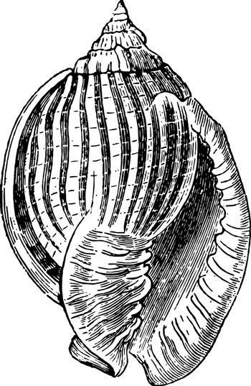 Cassis Zebra vintage illustration.