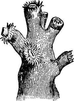 Dendrophyllia Ramea with Polypi vintage illustration.