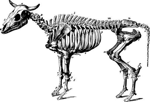 Ox Skeleton vintage illustration.