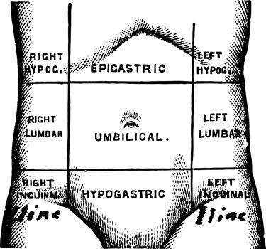 Regions of the Abdomen vintage illustration
