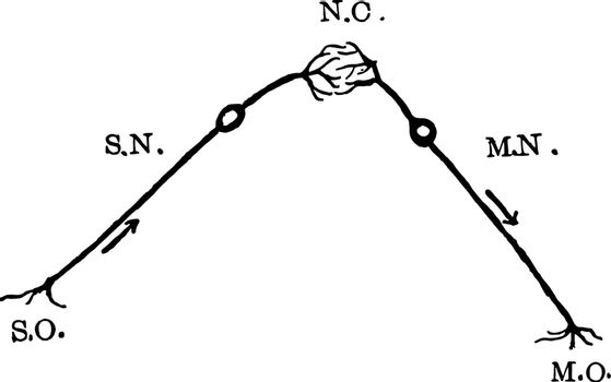 Nerve Reflex Arc vintage illustration.