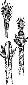 Terminal Herbaceous Grafting, vintage illustration.