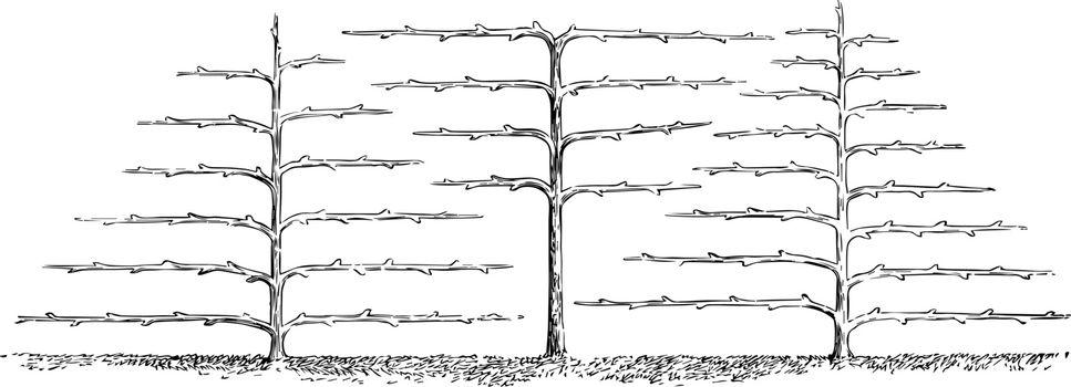 Horizontal System of Training Pear Trees vintage illustration.
