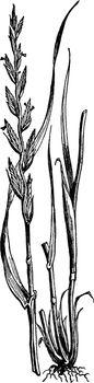 Perennial Rye Grass vintage illustration.
