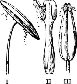 Pollen Discharge vintage illustration.