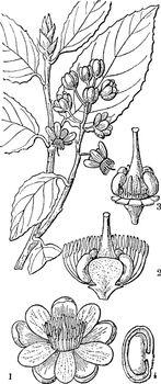 Ochna vintage illustration.