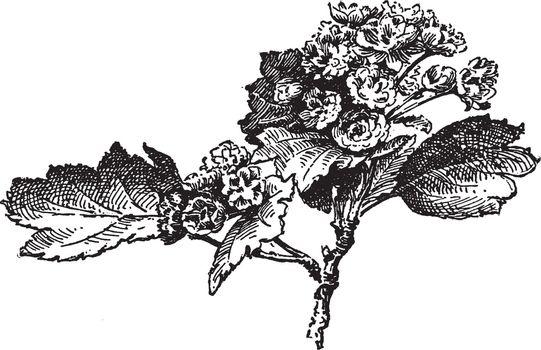 Crataegus Oxycantha Paulii vintage illustration.