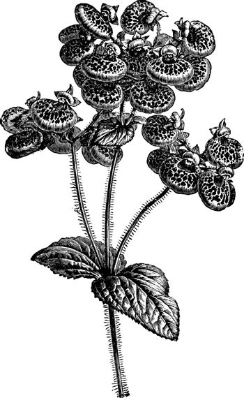 Herbaceous Calceolaria vintage illustration.