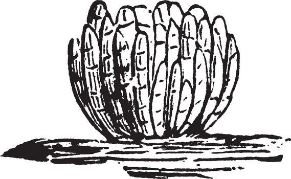 Clover vintage illustration.