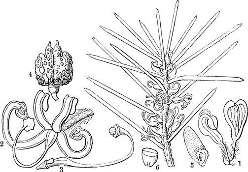 Silky Hakea vintage illustration.