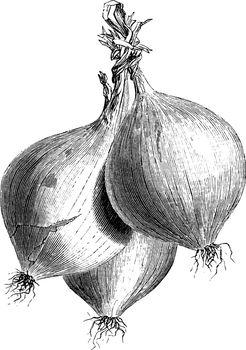Trebons Onions vintage illustration.