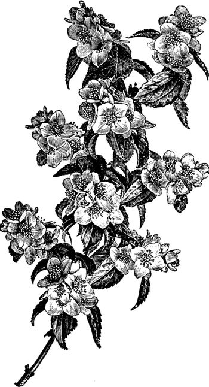 Flowering Branch of Philadelphus Gordonianus vintage illustratio