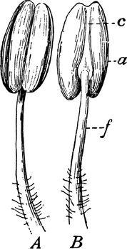 Stamen Parts vintage illustration.
